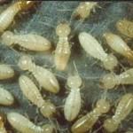 شركة-مكافحة-النمل-الابيض-بالدمام-150x150